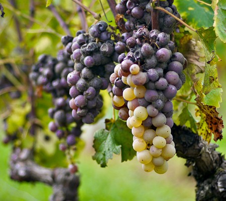 Les Vendanges du Sauternes dans les Vignobles du Hayot
